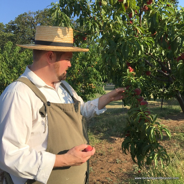 picking peaches at Nash Farm in Grapevine, Texas
