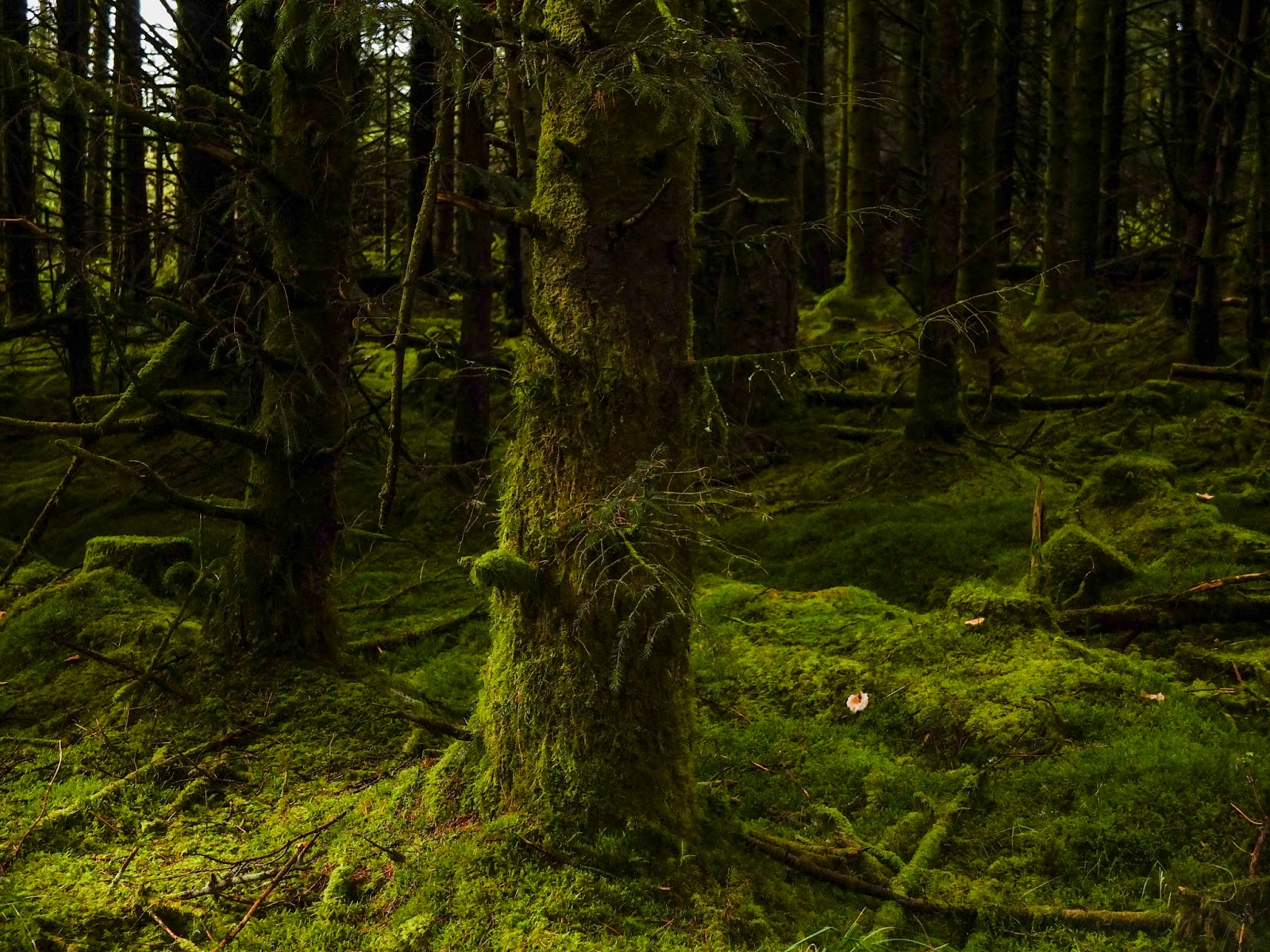 Moss covered tree trunks inside a forest.