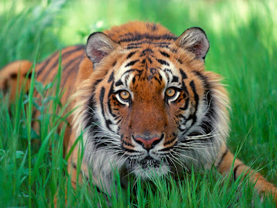 Tiger Face - Sumatran Tiger Wallpaper