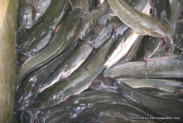 IkanKeli.jpg