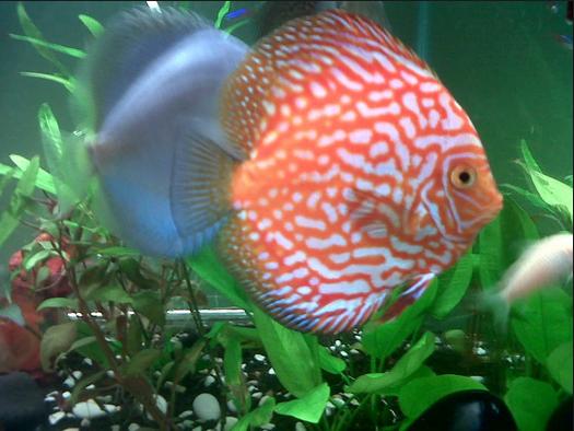 Ikan Hias Termahal - Ikan Discus