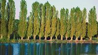 Bir nehir kenarında dizili uzun kavak ağaçları