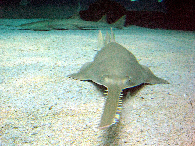 تعرف على  سمك المنشار(الكوسج) Pristidae