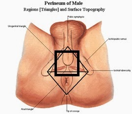where does the scrotum meet perineum