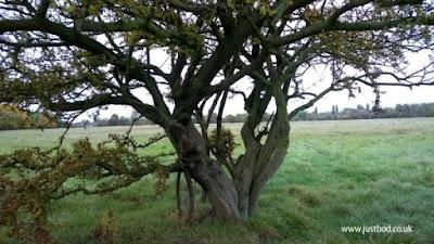 Hawthorn Tree Hob Moor York