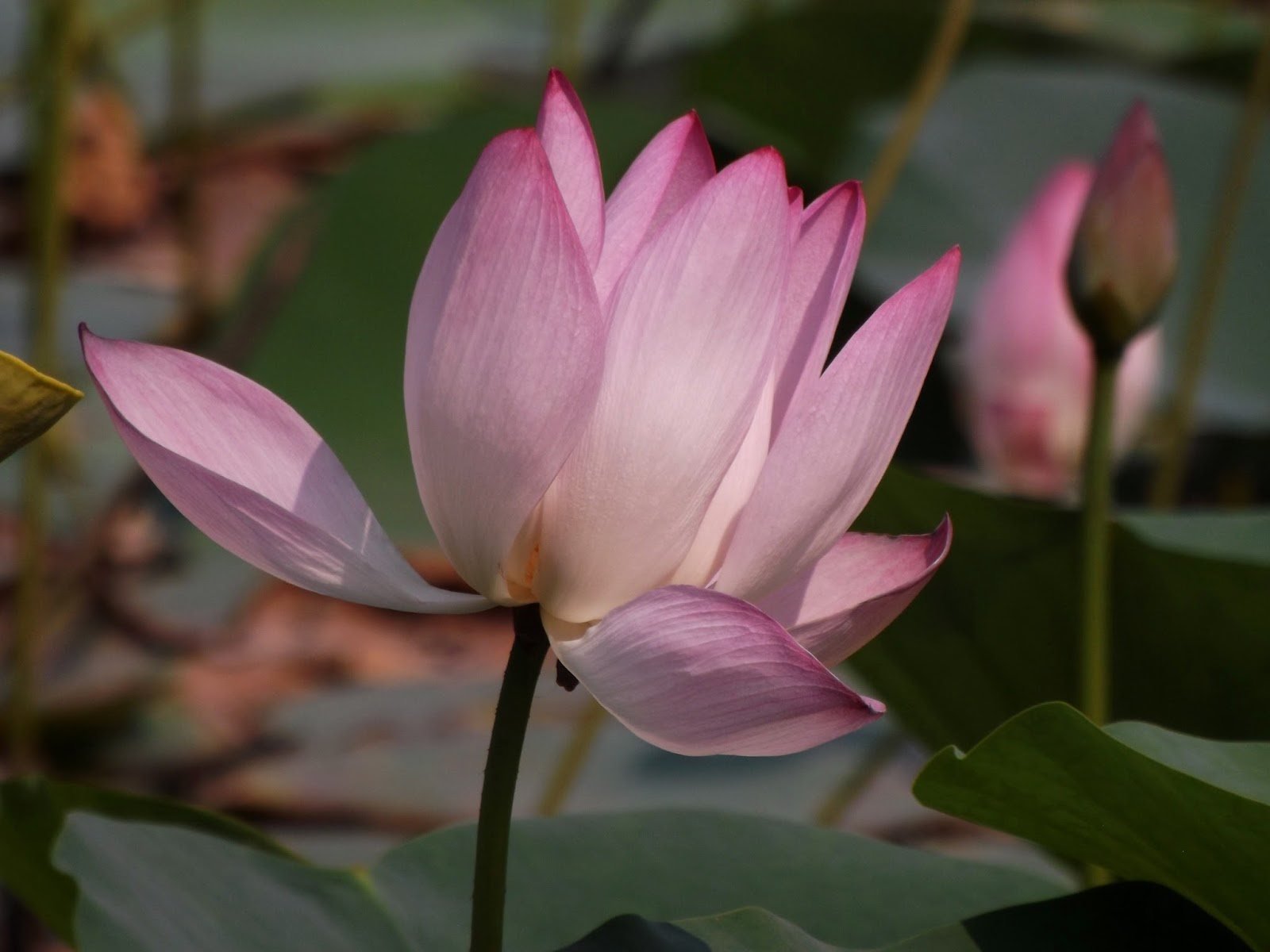 Padma lotus nelumbo nucifera fully bloomed flower is 15 20 cm across sepals 4 5 ovate elliptical persistent petals many 4 15 cm long elliptical numerous stamens surround pistil izmirmasajfo