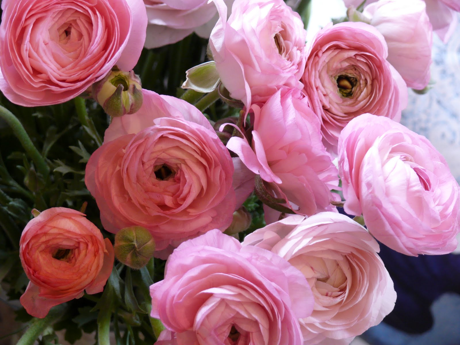 Pink Fall Wallpaper Hd La Fleur Vintage Ooh La La Pink Ranunculus