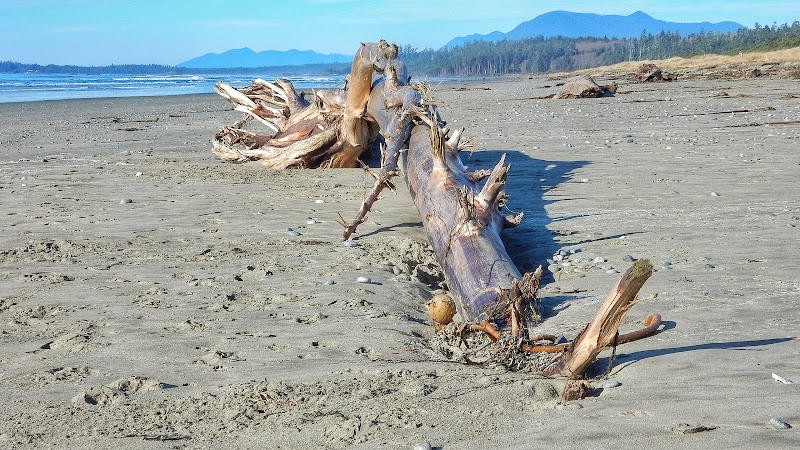 As usual, Long Beach features plenty of driftlogs (2015-11-21)