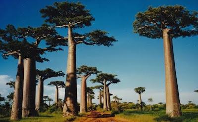 Baobab, Madagaskar