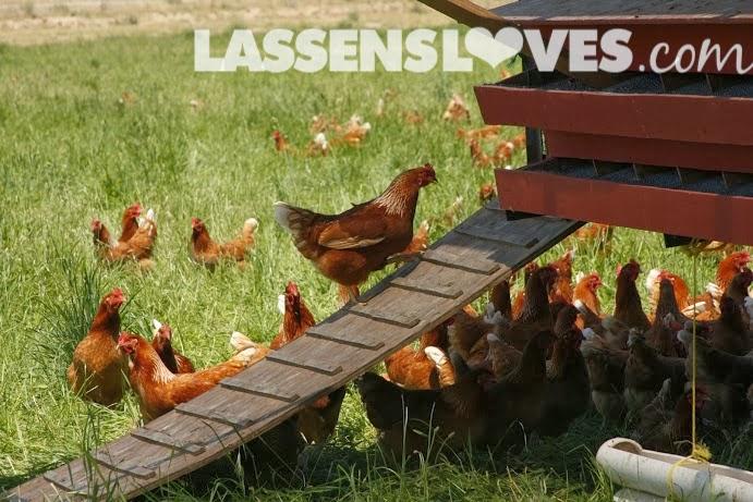 lassensloves.com, Lassen's, Lassens, Burroughs+Family+Farm, free+Range+Chickens