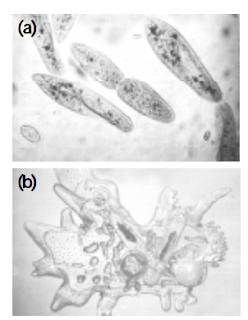 Ciri-Ciri Protozoa