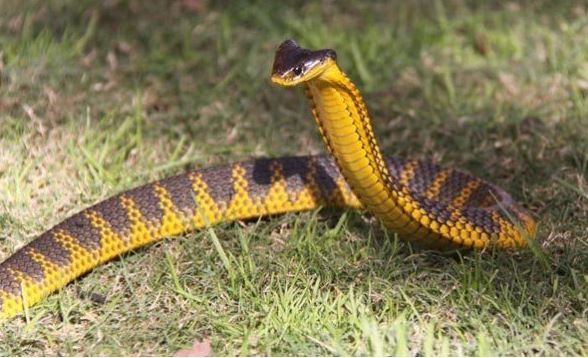 Amazing Facts: Find Out What The World's Most Venomous Snakes Are! LOOK!