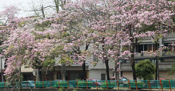 《台中.南區》2018興大綠園道-綠川旁的1公里洋紅風鈴木悄悄開花