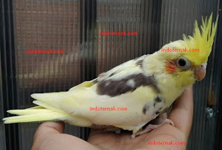 Cara Mudah Melatih Burung agar bisa FTM