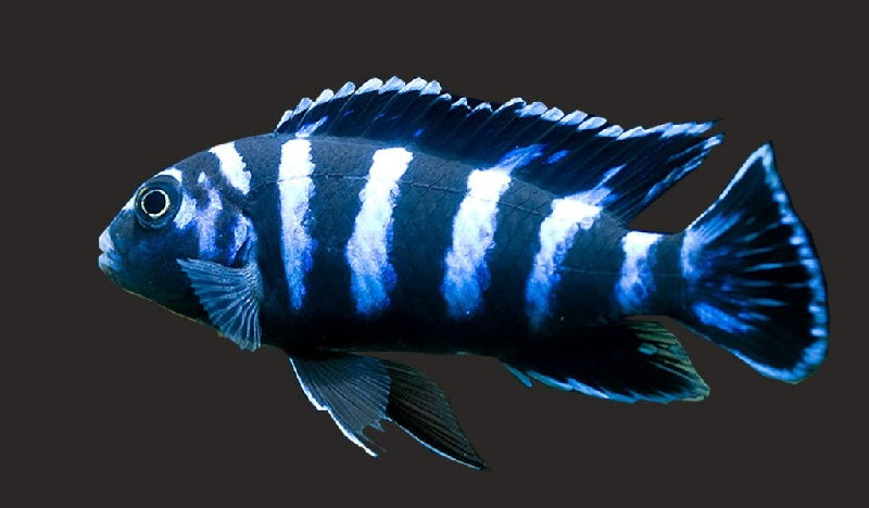 Gambar Demasoni Cichlid ( Pseudotropheus demasoni )-Jenis Ikan Cichlid Afrika Malawi Zebra Cichlids Atau Mbuna Cichlids