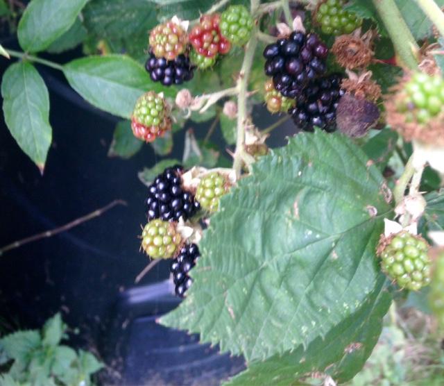 Blackberries Autumn