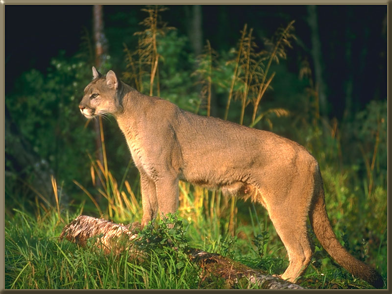 Adult puma dating-site