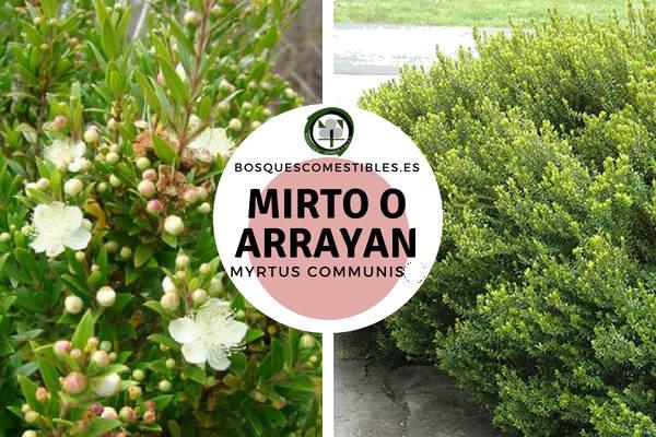 Mirto o Arrayán, Myrtus communis, planta que rara vez supera los 4 mt.