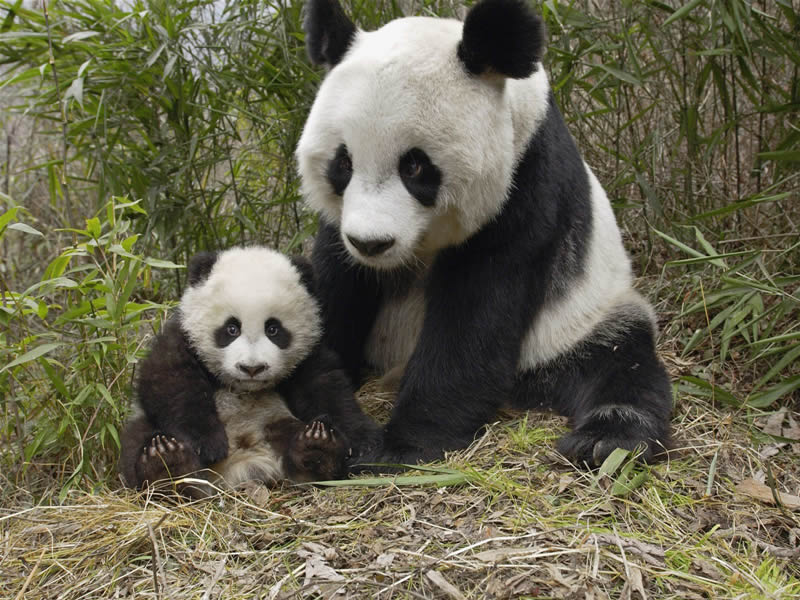 Cute Panda Bears In Photos-Pictures | Funny And Cute Animals