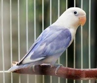 burung lovebird kepala elang
