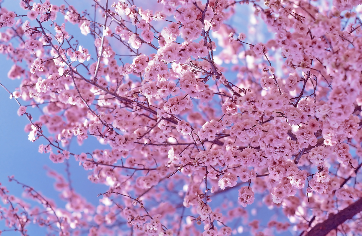 Sakura Falling Live Wallpaper Cherry Blossom Pictures Pink Flower Wallpapers