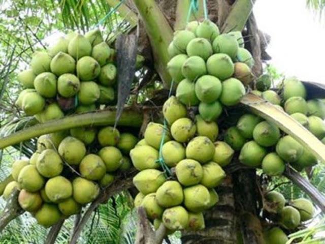 Bán dừa sáp cầu kè giá rẻ quận 9