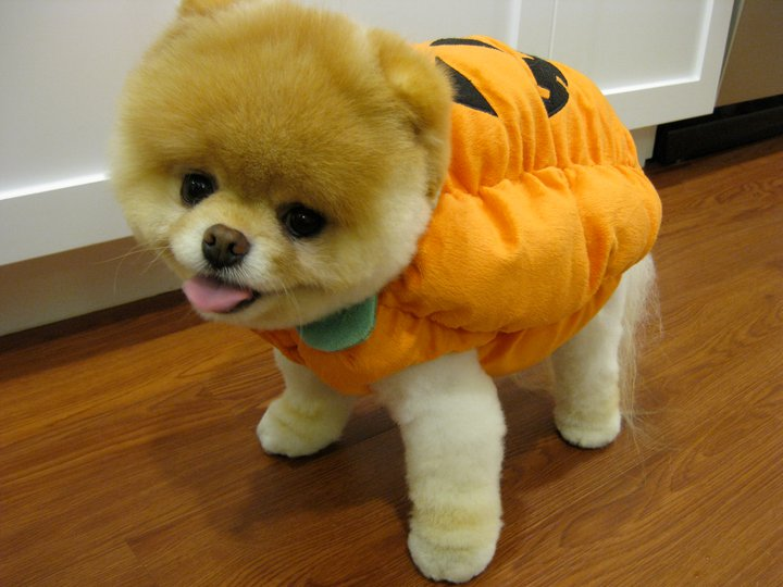 Most Inspiring Boo Army Adorable Dog - Boo-the-Cutest-Puppy-in-the-World-in-a-Halloween-Costume  Collection_764362  .jpg