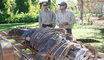 Buaya 600 Kg Tertangkap Setelah Perburuan Selama Satu Dekade