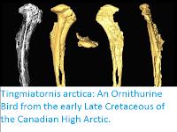 http://sciencythoughts.blogspot.co.uk/2017/01/tingmiatornis-arctica-ornithurine-bird.html