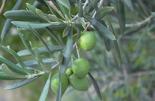 Árbol mágico: el Olivo