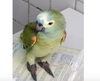"""Papagaio é apreendido por anunciar PM em área de tráfico: """"Mamãe, polícia!"""""""