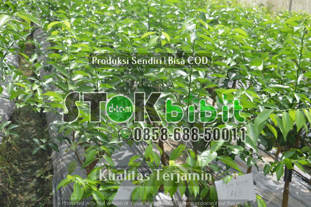 Saputan Batang pada tanaman jeruk      Unggul     berkualitas
