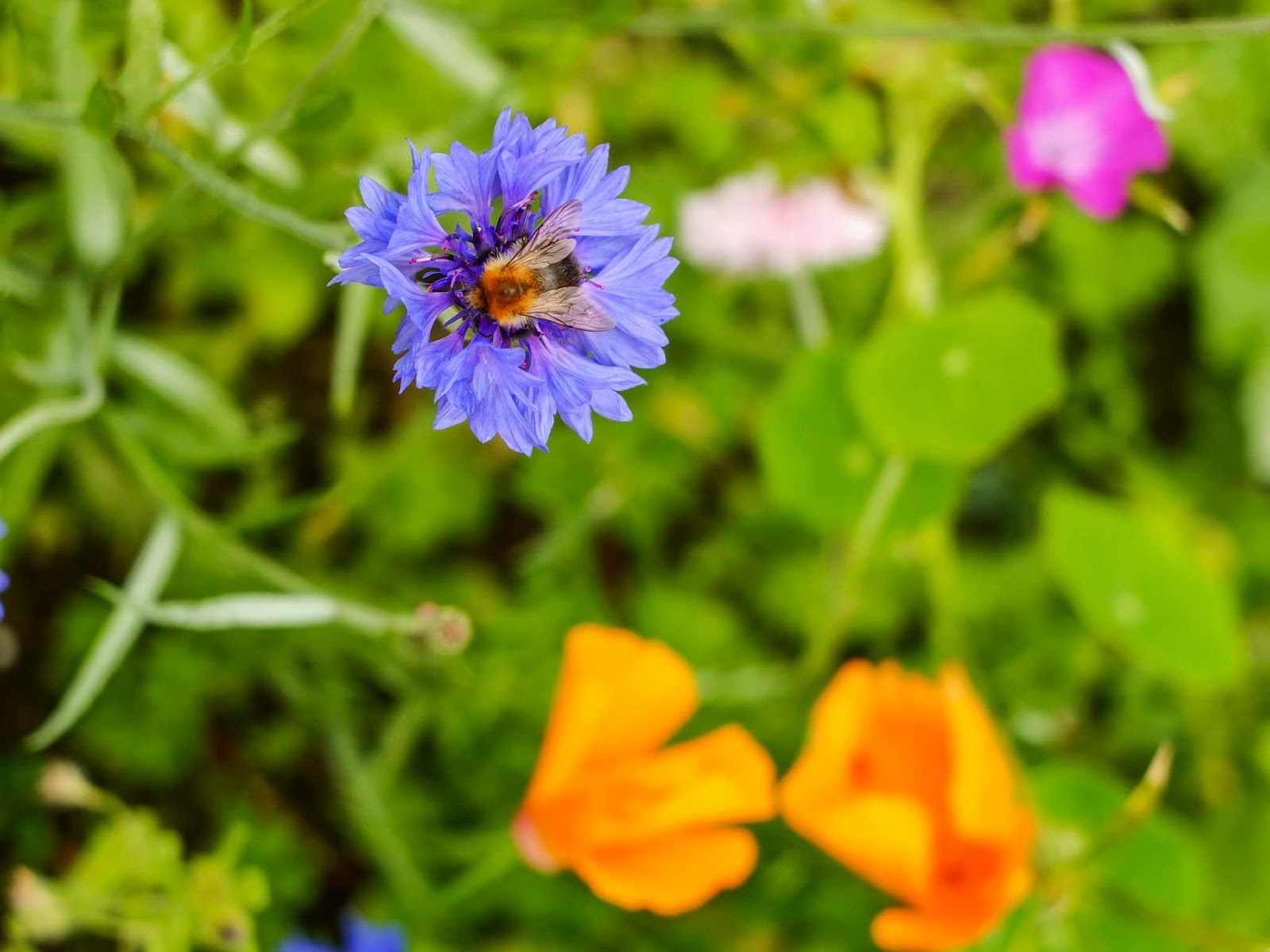 A close up of a bee sitting on top of a cornflower in a meadow.
