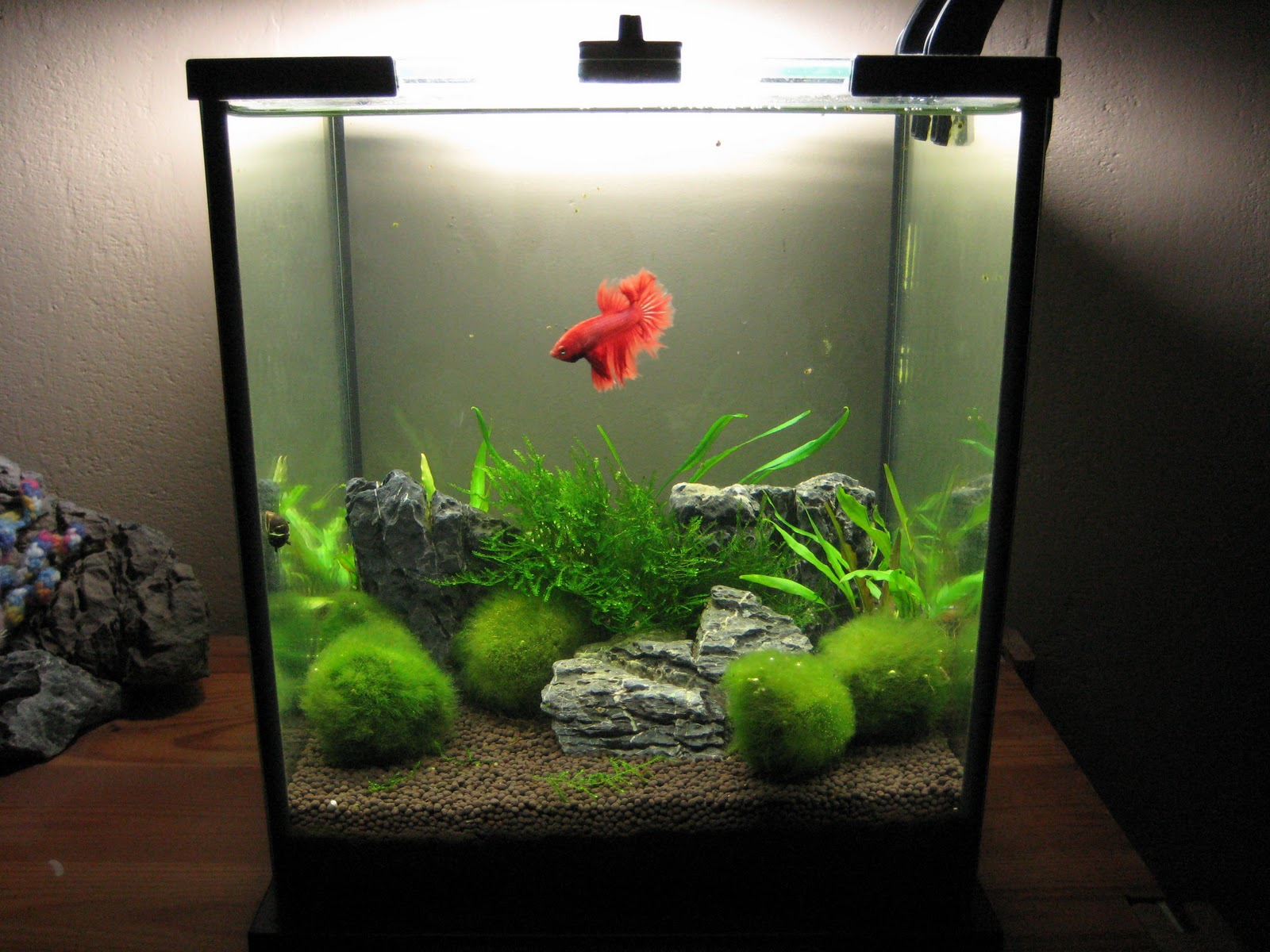 Betta fish tank setup ideas that make a statement for Freshwater fish tank setup