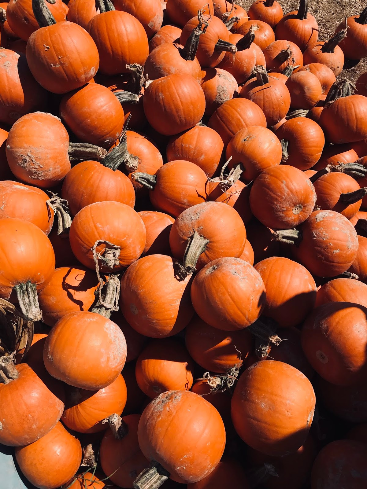 Pumpkins Walking All Around Us In The Fall