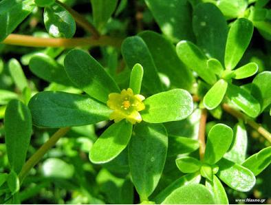 Τα καλοκαιρινά φαγώσιμα χόρτα: θεραπευτικές ιδιότητες