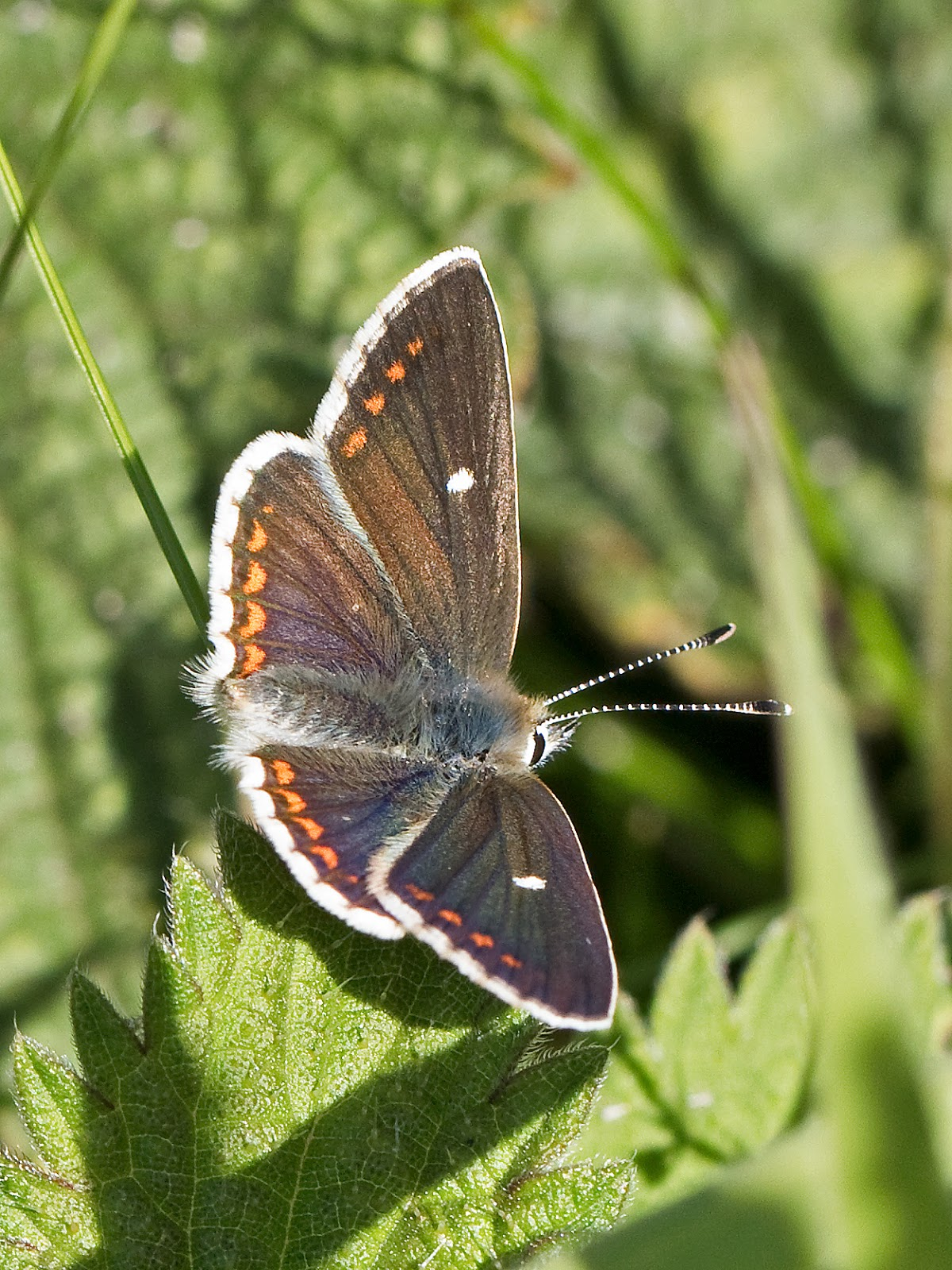 Northern Argus: Martin's Sussex Birding Blog: Northern Brown Argus And