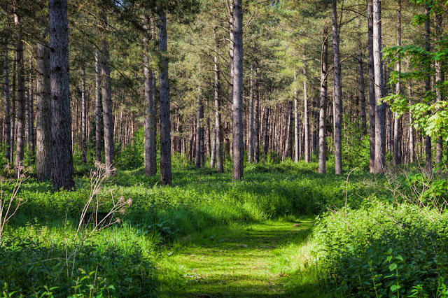 Pathway beneath the towering pine trees on a spring day at Thetford Forest