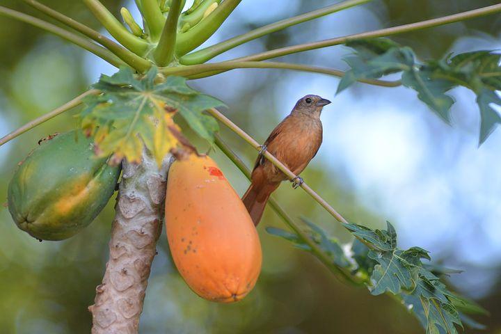 पपीता के 13 आश्चर्यजनक लाभ | 13 Surprising Benefits Of Papaya in Hindi