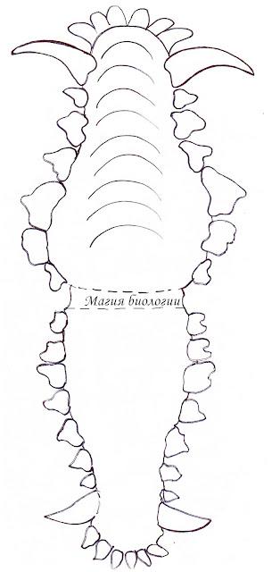 челюсть-волка-зубная-формула-биомоделирование-год собаки