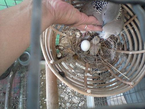 Cách nuôi chim cu gáy sinh sản