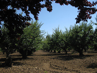 Apricot trees, Orchard Heritage Park, Sunnyvale, California