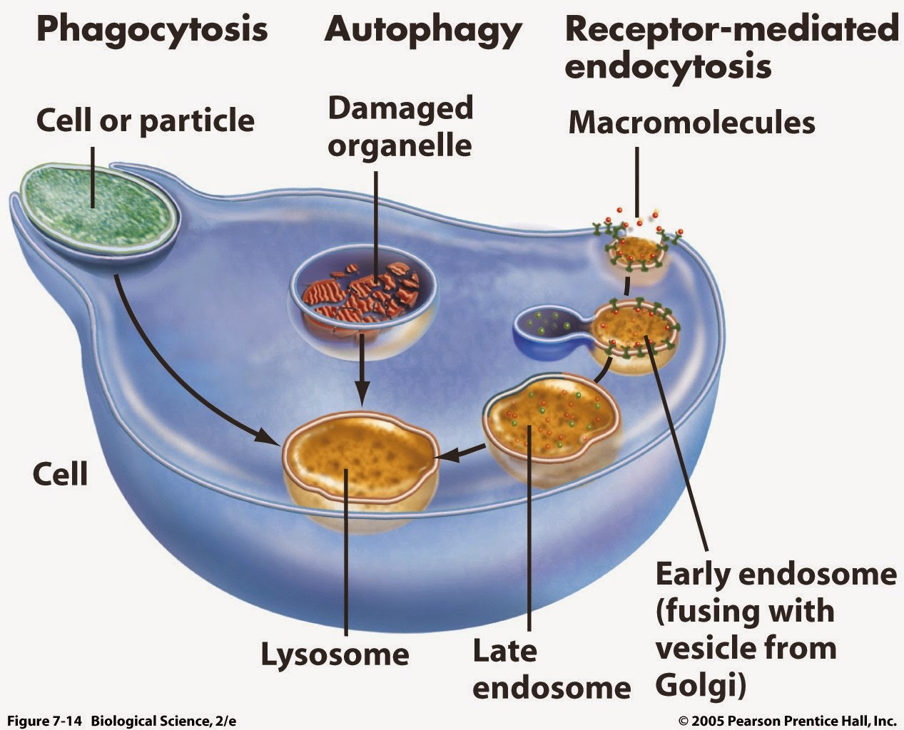 all about lysosomes