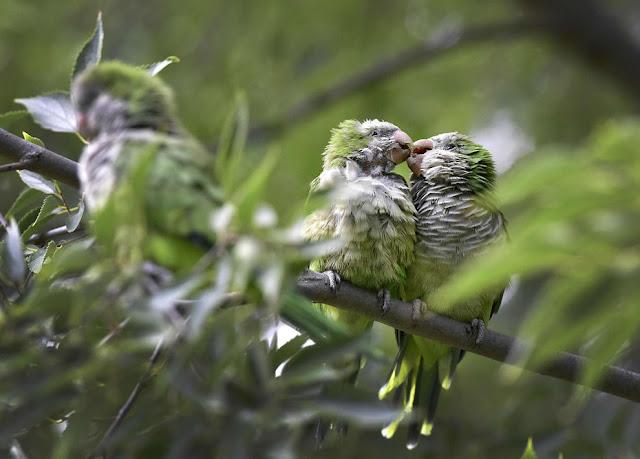 Пара целующихся попугая-монаха