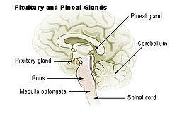 The Progressive Thinkers Pineal Gland Wikipedia The Free