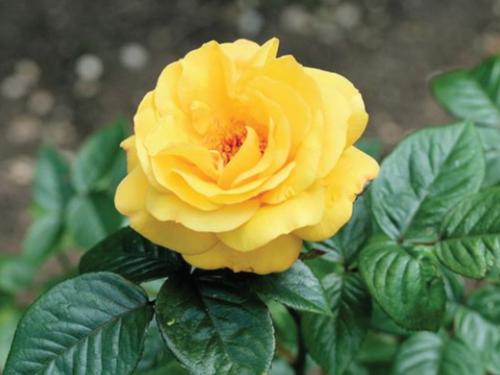 Hoa hồng vàng 4