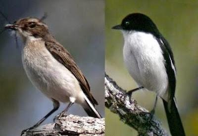 Tips Mengetahui Perbedaan Fisik Burung Decu Kembang Jantan Dan Betina