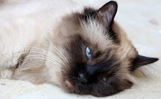 Burmese Cat Lifespan, Breed Information, etc