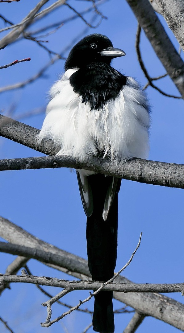 A magpie on a tree branch.