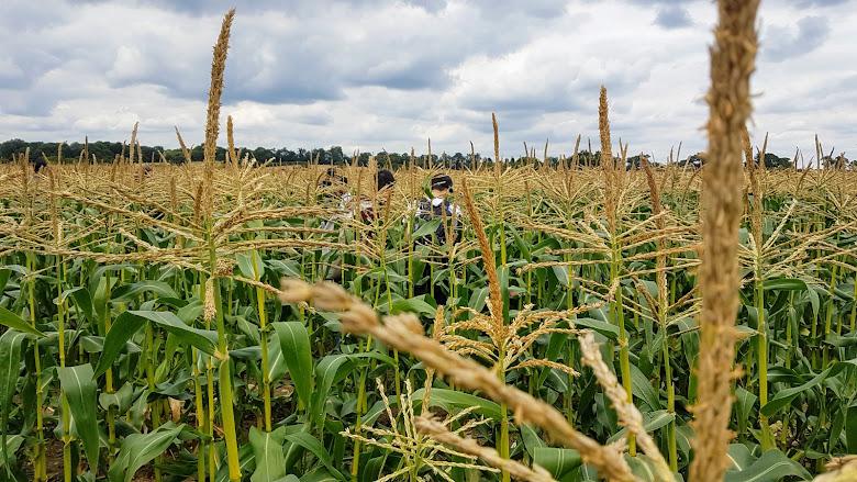 在玉米田內散步